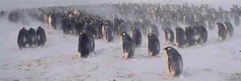 ブリザードの中ひたすら卵を温める皇帝ペンギンのオスたち