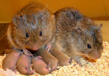 平原ハタネズミの家族