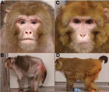 rhesus-monkeys-calorie-restriction1
